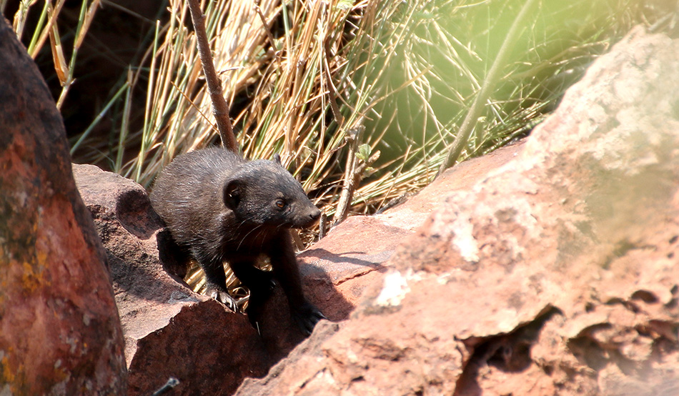 Spotted at the Waterberg Plateau Lodge: Black mongoose or very dark slender mongoose
