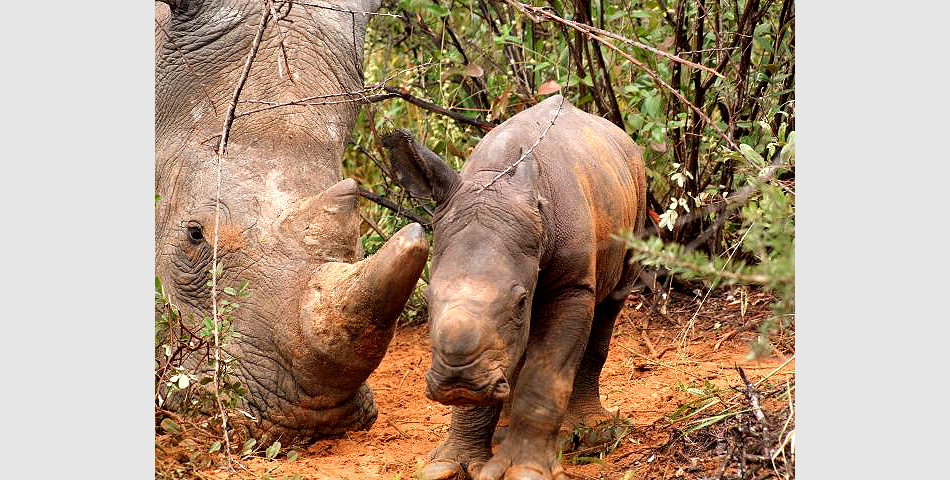 New member of the white rhino family: Bull calf with its mother