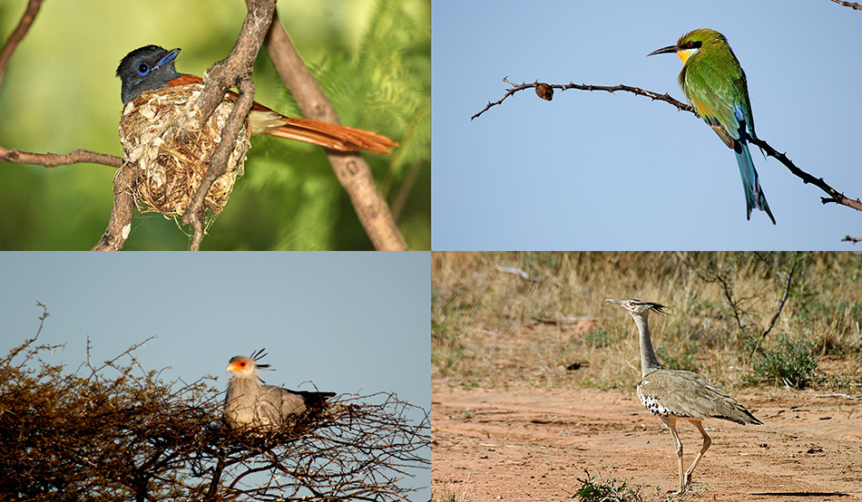 "On the bird list you can ""tick off"" Paradise fly-catcher, Swallow-tailed Bee-eater, Secretarybird and Kori Bustard"